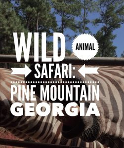 The beautiful Wild Animal Safari in Pine Mountain Georgia is a great drive-through zoo with over 500 animals to see up close.